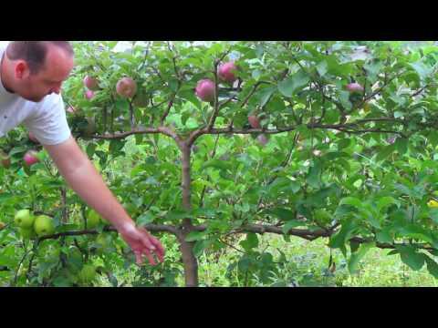 Growing Apples on Espalier Tree