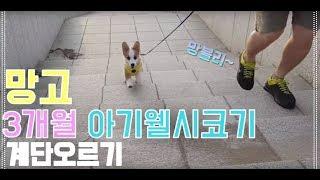 [강아지 귀여운 예쁜 잼있는 반려견 웃긴 영상][MangoStar] Welsh corgi 웰시코기 망고 계단오르기