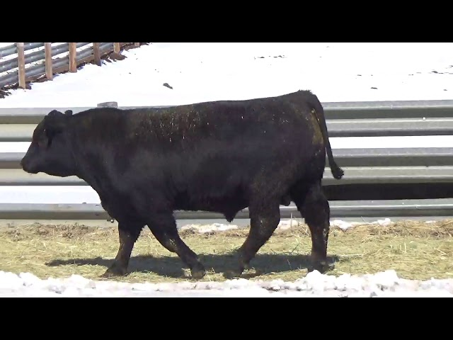 Connealy Angus Lot 435