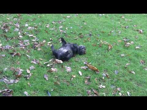 Cairn Terrier Fergus rolling.