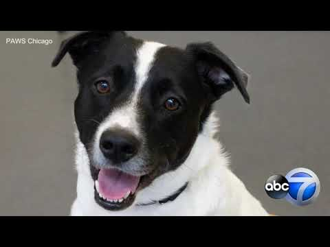 PAWS Chicago Waiving Adoption Fees For Adult Dogs