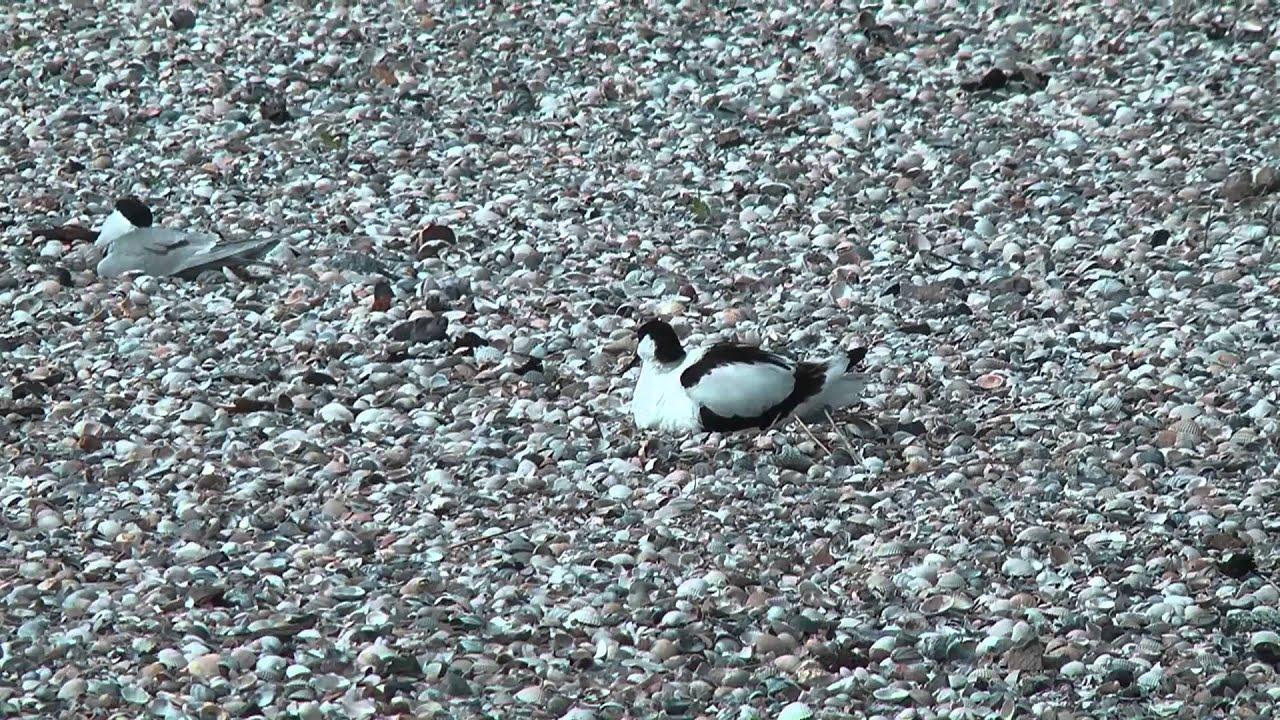 Vogels langs de Lancasterdijk  HD 1080p
