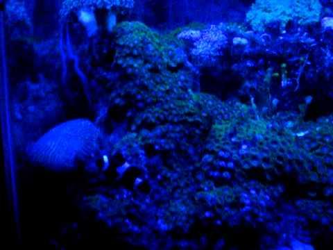 55 gallon reef tank under blacklight 420nm