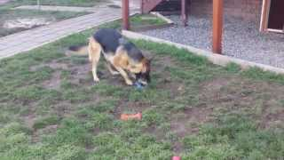 Olympia (german Shepherd Dog) - Fun Time Playing With Squeaky Toys - Got Waggy Tail!!