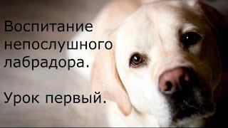 Воспитание непослушного лабрадора. Урок первый. Устанавливаем контакт с собакой(Установление контакта с собакой и первоначальная выработка команды «рядом» в разных ситуациях. Видеоурок..., 2015-01-24T19:03:00.000Z)