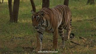 4K Mini Wildlife Moments: Majestic Tiger ~ Ranthambore '20