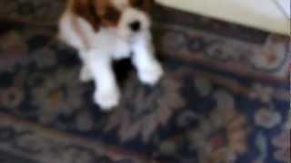 2° Giorno A Casa :) Cavalier King Charles Spaniel *emis*