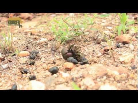 African Dung Beetle rolling dung - Miskruier- KrugerTV