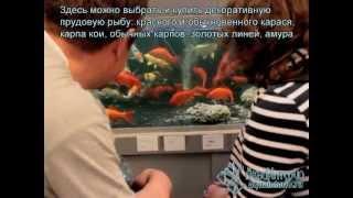 Купить прудовых рыб: красный карась, карп кои.
