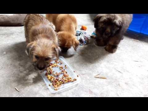 Norfolk Terriers, 11 weeks old, Enjoy Big Breakfast!