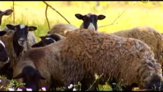 «Сельские истории». Собаки-пастухи