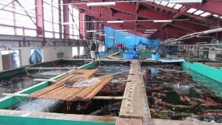 Niigata Japan Koi Fish Farm Tour - Breeder: Marusei Koi Farm