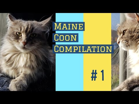 Life of a Maine Coon compilation #1