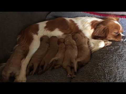 7 Cavoodle Puppies nursing at 9 days old - Daisy & Chilli's pups