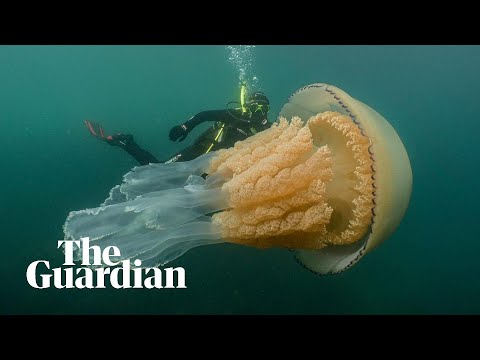 Astonished divers come across a massive jellyfish off the coast of England