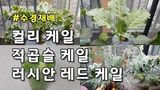 [수경재배] 집에서 케일 씨앗부터 키우는 방법