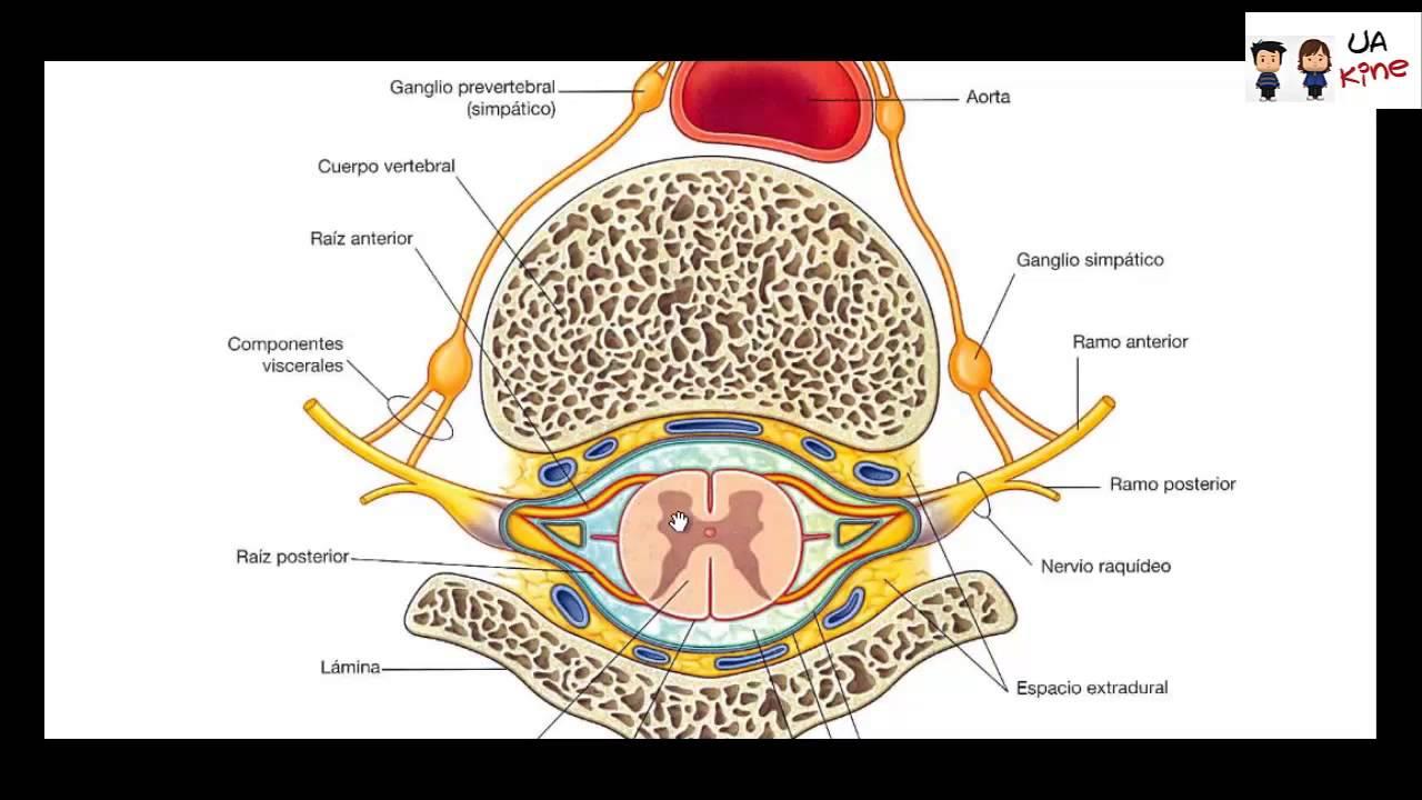 Anatomia - Nervios Espinales - YouTube