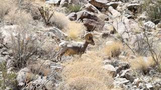 Bighorn Sheep grazing in Lower Hellhole Canyon