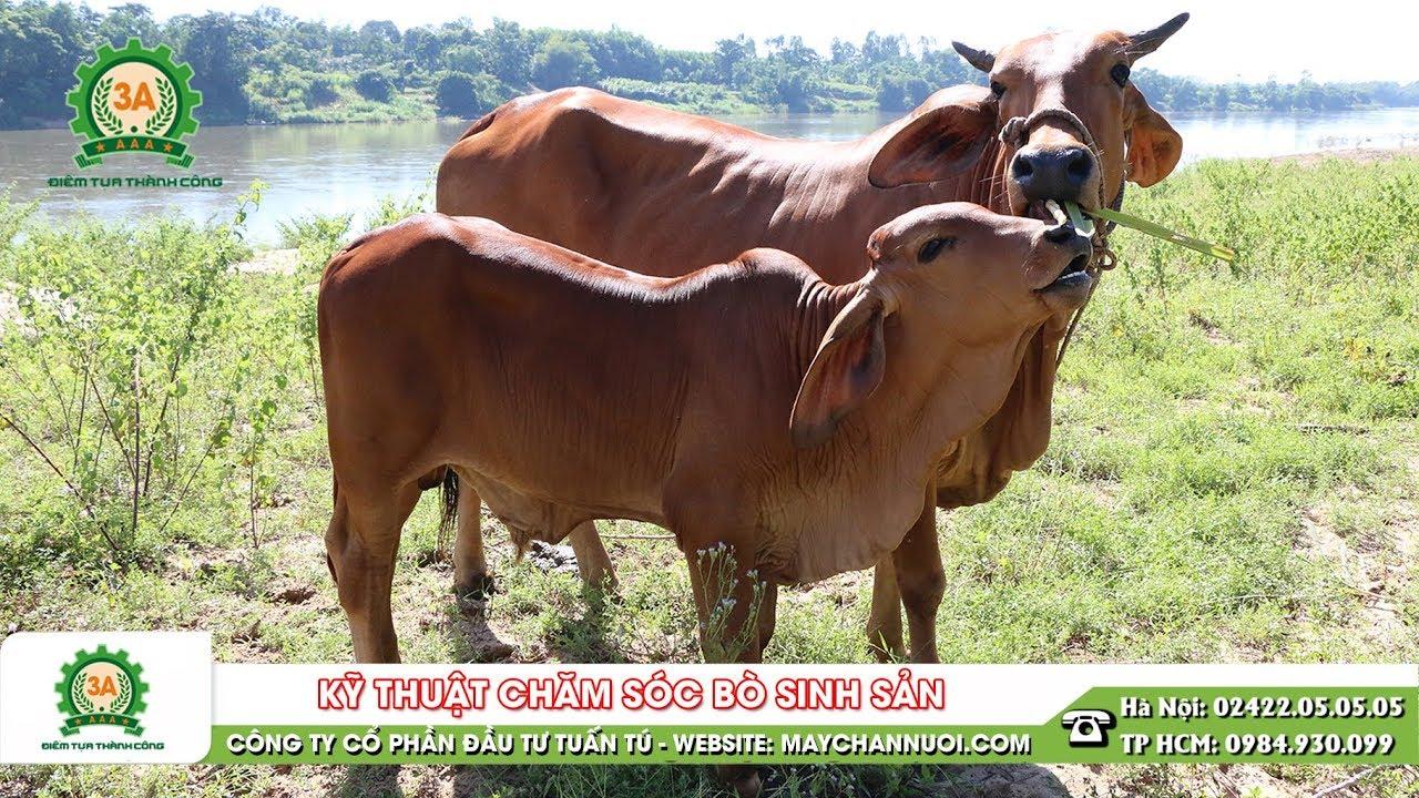 Kỹ thuật chăm sóc bò sinh sản | Kiến thức chăn nuôi bò