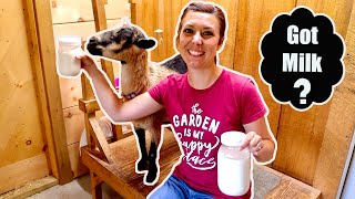 We've NEVER had THIS Happen! Milking our Miniature Goat for the First TIME!
