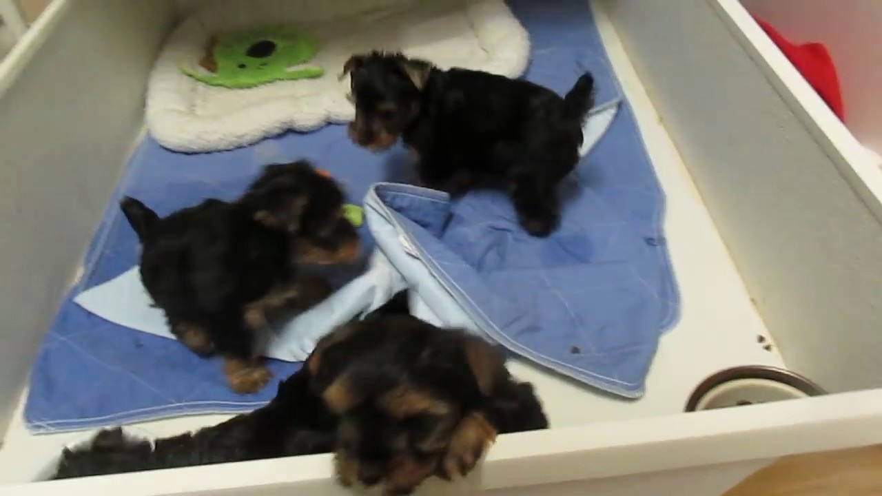 Amazing Teacup Yorkie Puppies For Adoption!