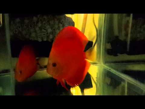 Red Melon Discus Yavruları Sırta Gecmeye Calisiyor