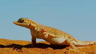 Lizard Dances to Stay Alive | Enchanted Kingdom | BBC America