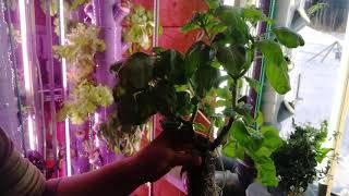 Базилик - дерево. Растёт 6 мес. в установке Аэро-Флора. Аэропоника АэроФлора