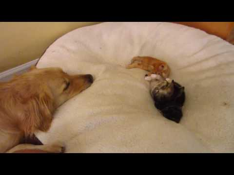 Big Dog Watching His Three Little Foster Kittens Playing On His Bed - 4 Weeks Old