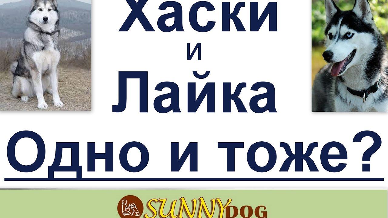 фото хаски и лайки собаки