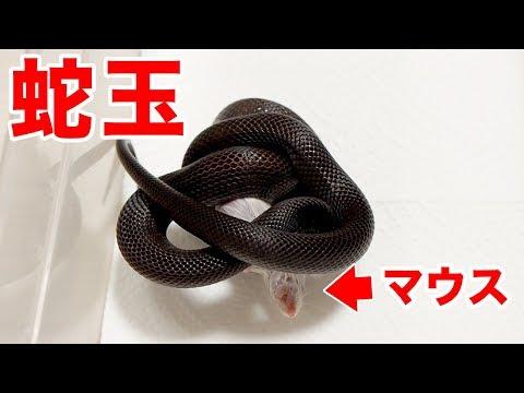 黒ヘビに餌やり。マウスへの食らいつき方がヤバすぎた!