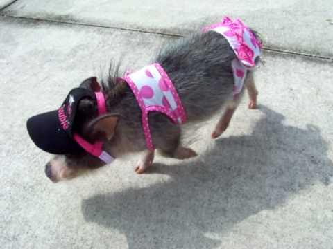 Adult Micro Pig