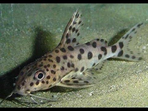 описание и сомики аквариумные фото