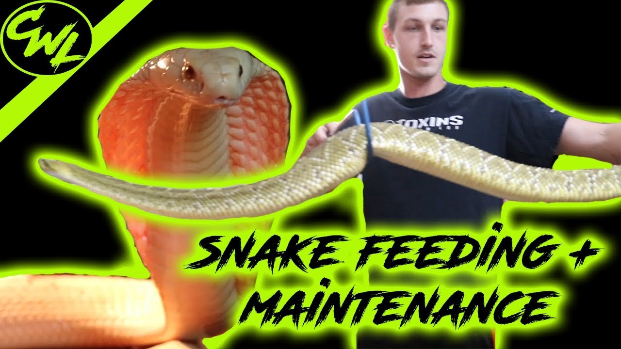 VENOMOUS SNAKE FEEDING & MAINTENANCE!!