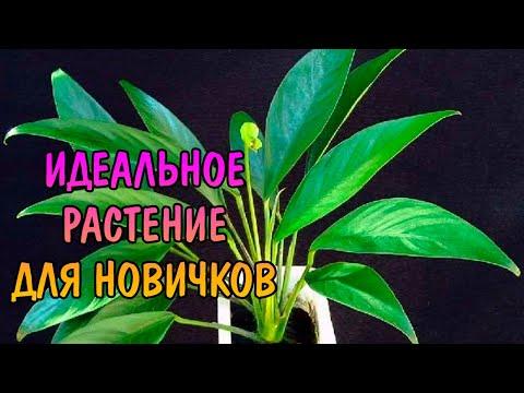 АНУБИАС ЛАНЦЕТ ( Anubias lanceolata )