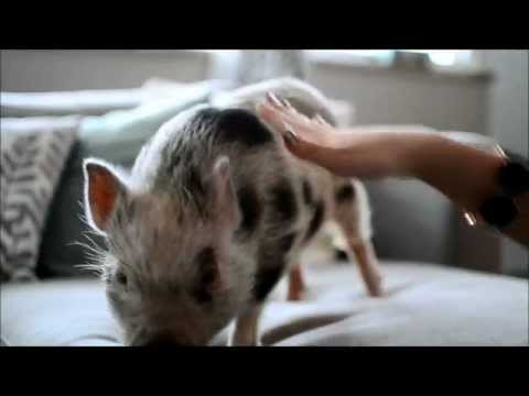 How To Train Your Micro Mini Pig: Sit, Stay, Jump, Shake Hands