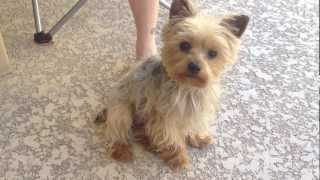 Yorkshire Terrier- Madison saying I Love You.