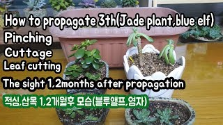 How to propagate pinching,cuttage,leaf cutting & after 1,2mth  later(적심,삽목,잎꽂이 한두달후 모습)