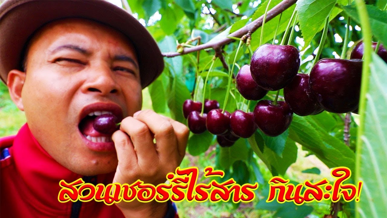 แบบนี้แหละพบคนไทยตื่นเต้นเก็บเชอร์รี่ลูกดกๆใหญ่ๆดำๆสนุกมากทั้งปีนทั้งโหนกินกันสะใจ