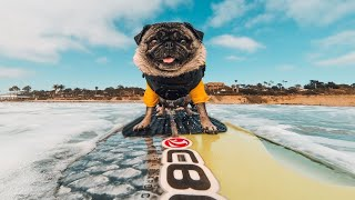 Funny Dogs Surfing  Best Of Surfing Dogs