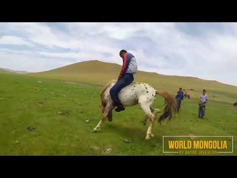 Как объезжают лошадей видео очень диких