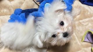 可愛いマルチーズの子犬ダヤンが我が家にやってきて2週間経ちました。す...