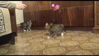 ПРОДАЖА - Золотые котята породы курильский бобтейл