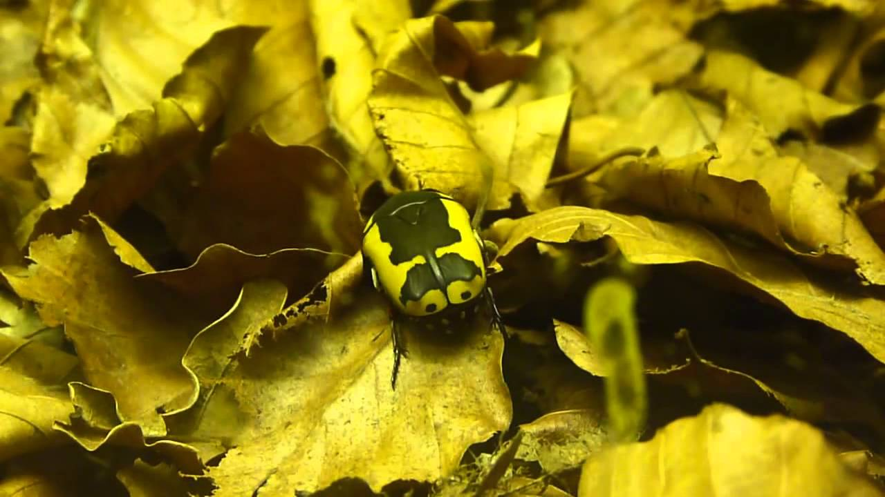 how to get rid of pachnoda sinuata
