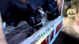 видео Сарай для коровы своими руками