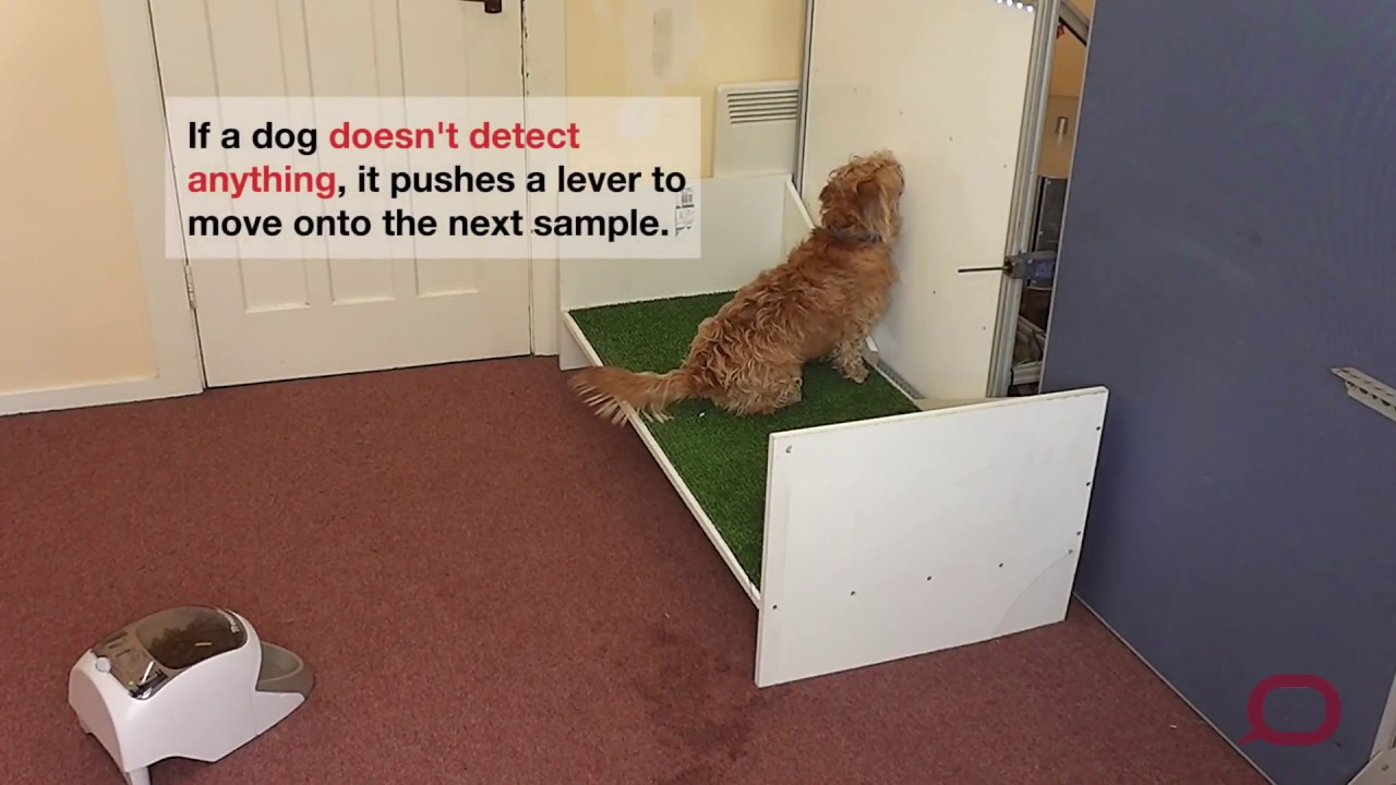 Dogs' sensitive noses may be the key to early detection of