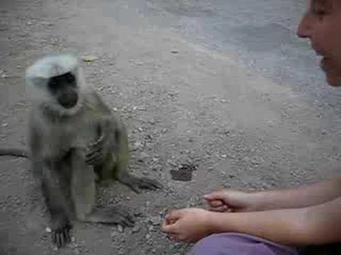 How Clever Are The Langur Monkeys Of Rishikesh India YouTube - 25 intelligent animals world
