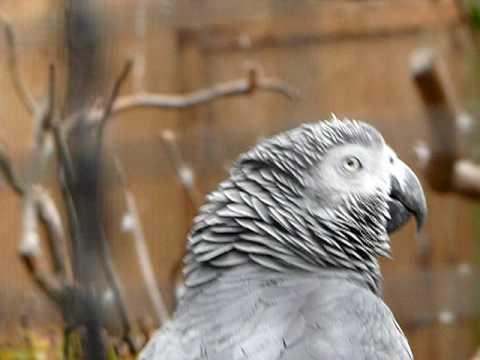 African Grey Parrot @ Auckland Zoo, NZ