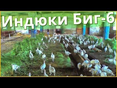 Будни фермера #7 Индюки Биг-6 (Big-6) 40 дней.Содержание индеек.Птицеводство.