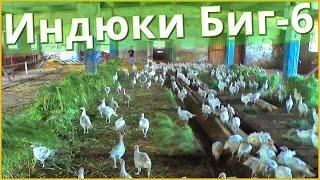видео Выращивание птицы в домашних условиях - бизнес на пицеводстве, своя птицеферма